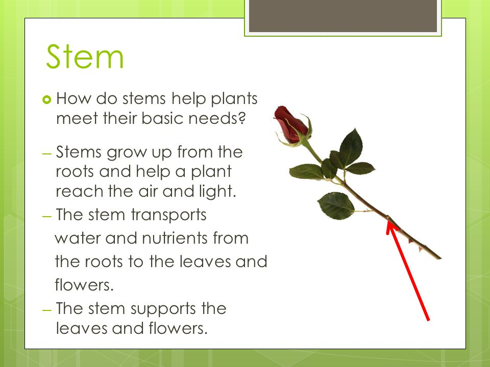 Stem How do stems help plants meet their basic needs