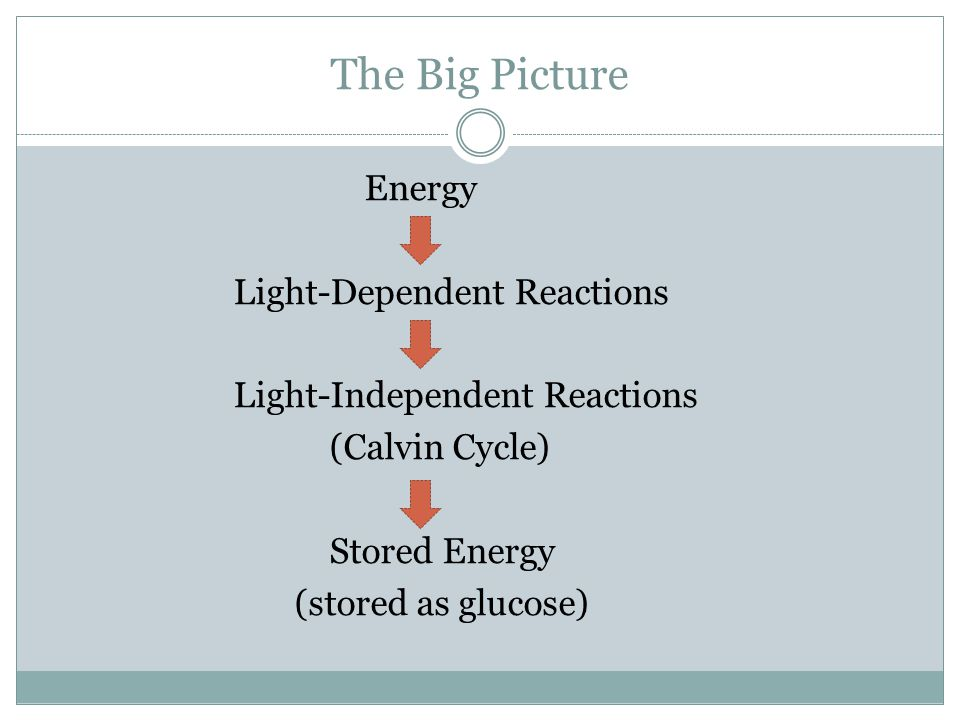 The Big Picture Energy Light-Dependent Reactions Light-Independent Reactions (Calvin Cycle) Stored Energy (stored as glucose)