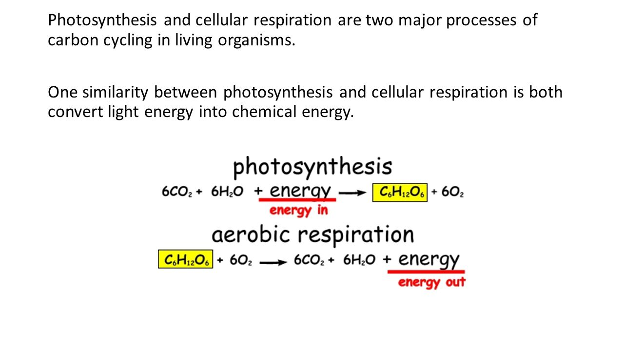Photosynthesis and cellular respiration are two major processes of carbon cycling in living organisms.