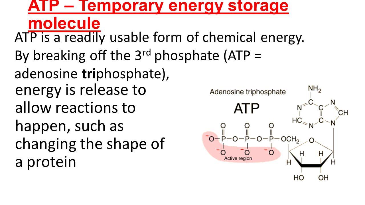 ATP – Temporary energy storage molecule
