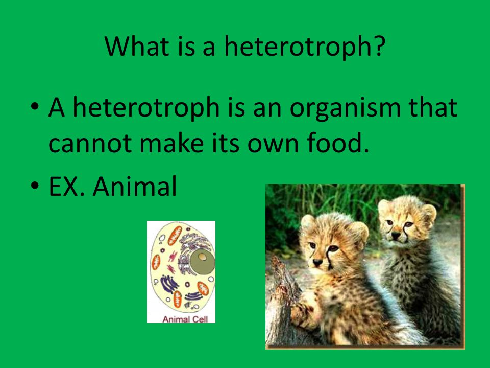 What is a heterotroph A heterotroph is an organism that cannot make its own food. EX. Animal