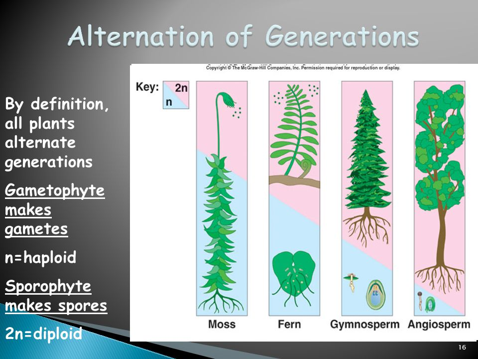 the alternation of generations in gametophytes Alternation of generations for sexually reproducing multicellular organisms such   whereas the fern gametophyte and sporophyte generations are completely.