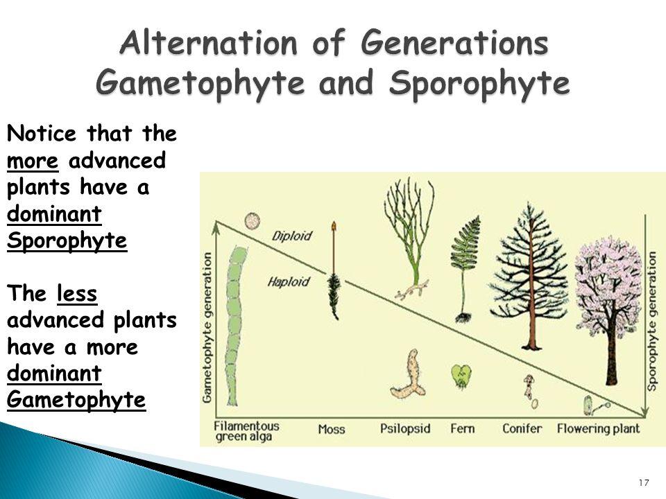 Alternation of Generations Gametophyte and Sporophyte