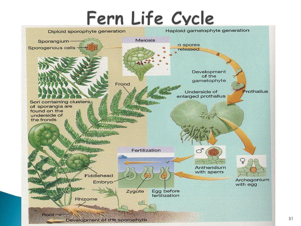 Fern Life Cycle Fern Life Cycle