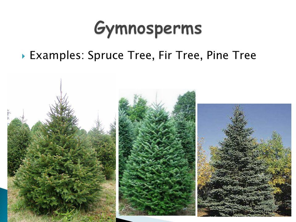 Gymnosperms Examples: Spruce Tree, Fir Tree, Pine Tree