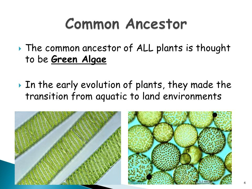 Common Ancestor The common ancestor of ALL plants is thought to be Green Algae.