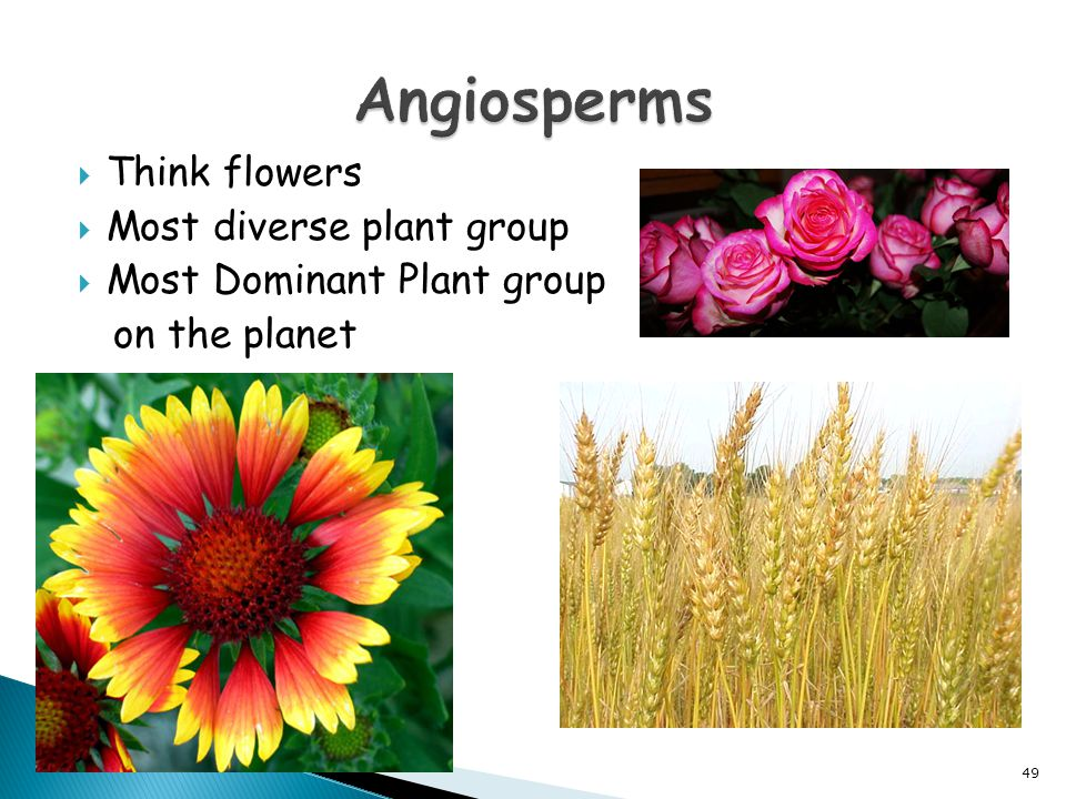 Angiosperms Think flowers Most diverse plant group