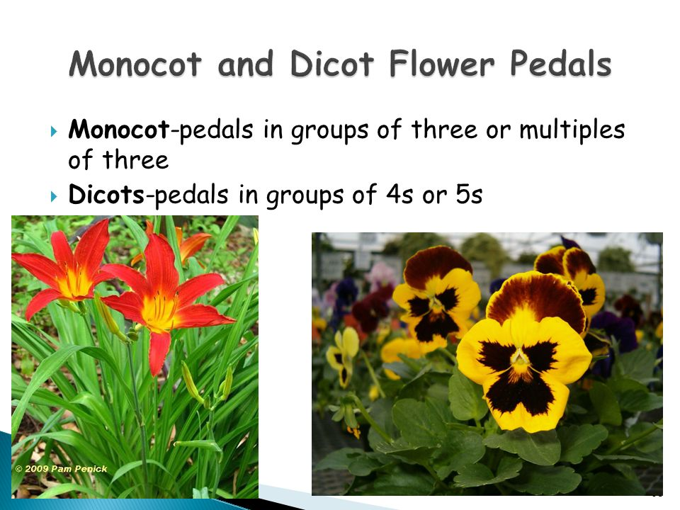 Monocot and Dicot Flower Pedals