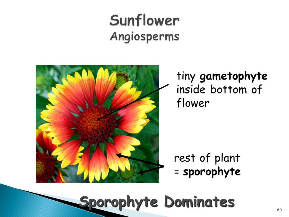 Sunflower Angiosperms
