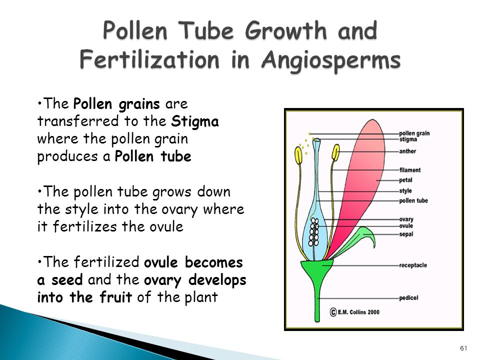 Pollen Tube Growth and Fertilization in Angiosperms
