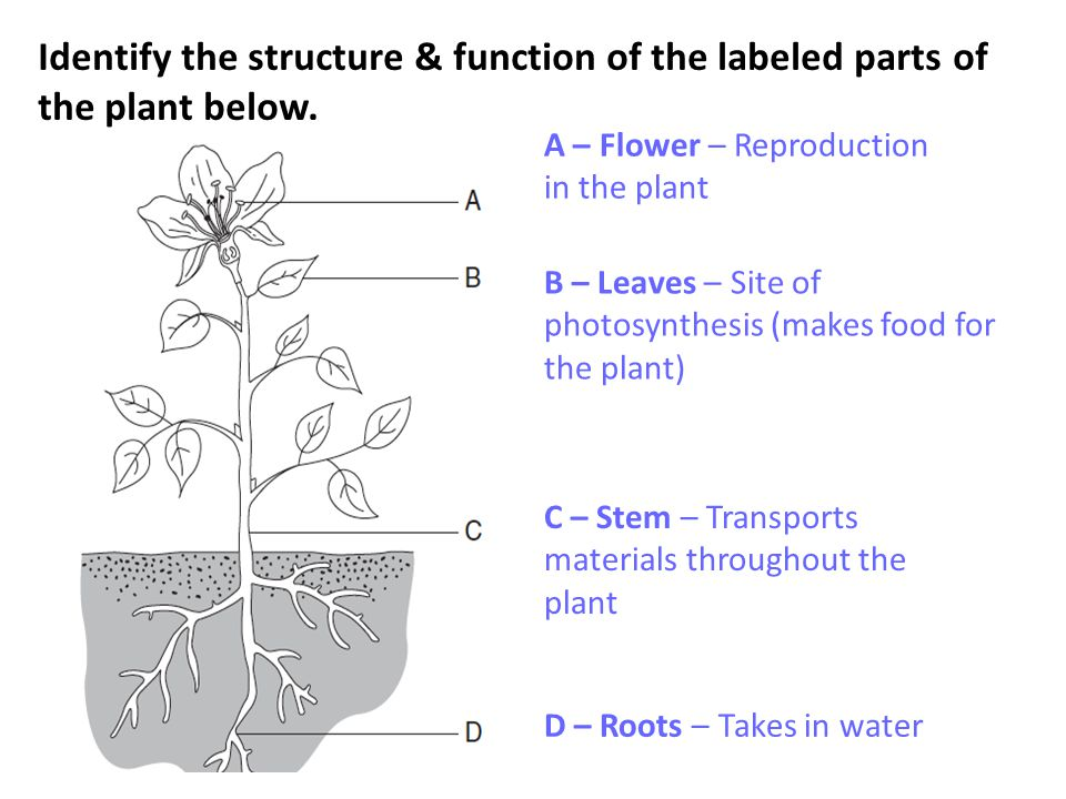 Identify the structure & function of the labeled parts of the plant below.