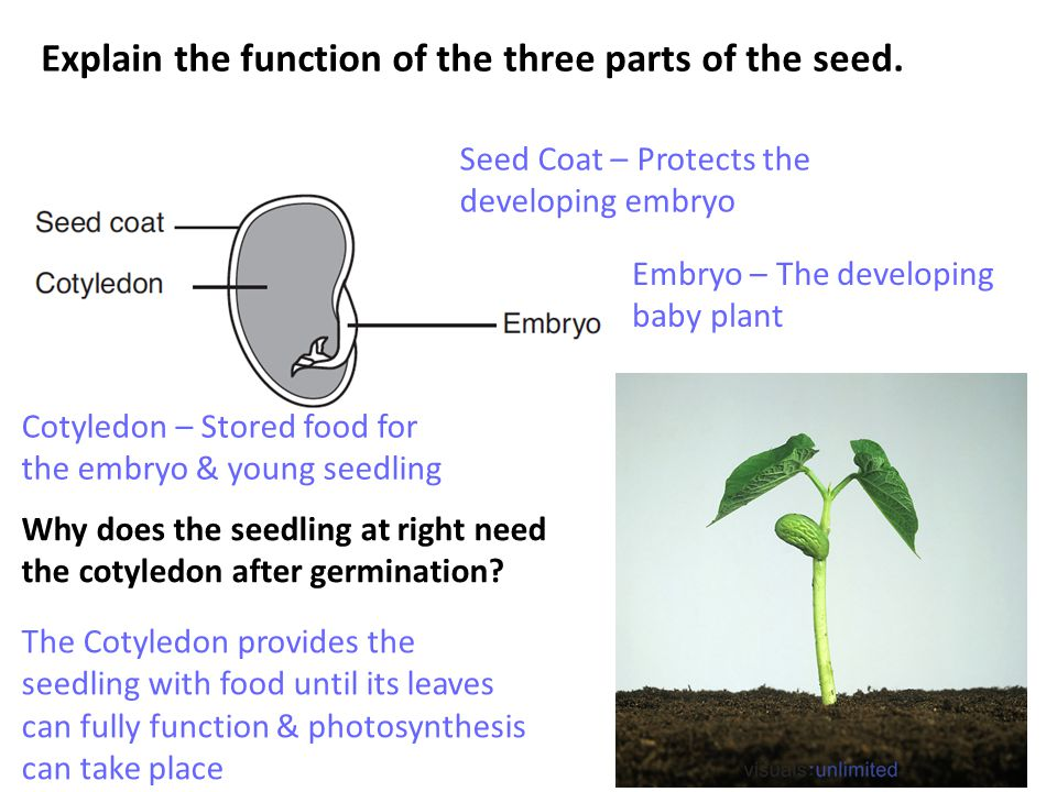 Explain the function of the three parts of the seed.