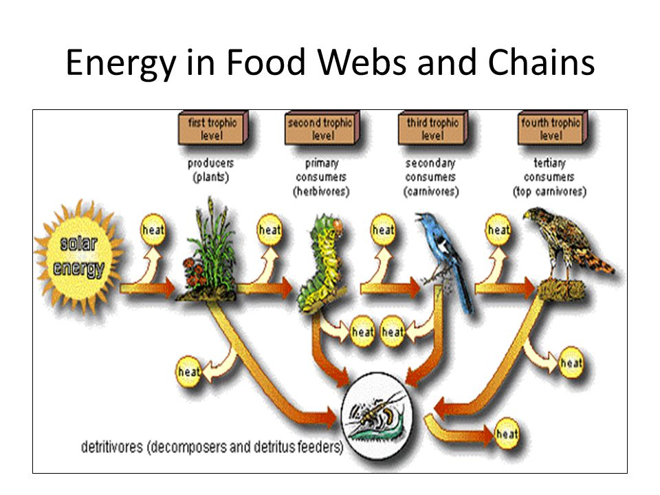 Energy in Food Webs and Chains