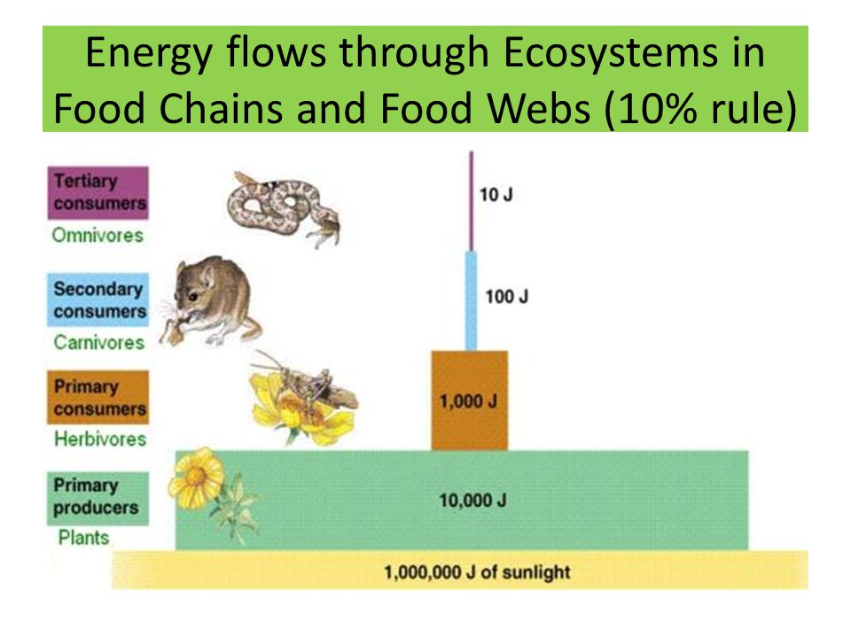 Energy flows through Ecosystems in Food Chains and Food Webs (10% rule)