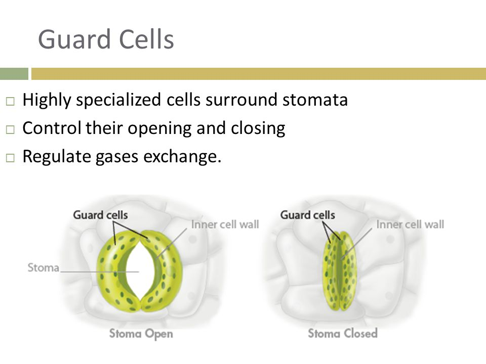 Guard Cells Highly specialized cells surround stomata