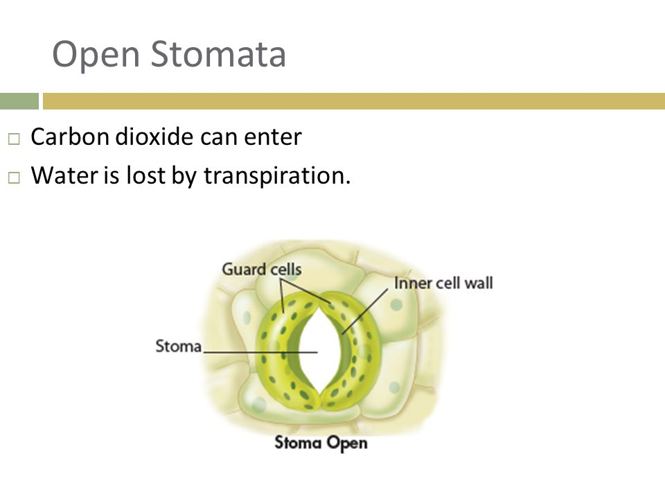 Open Stomata Carbon dioxide can enter Water is lost by transpiration.