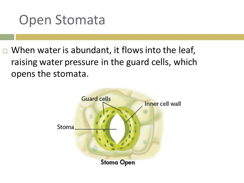 Open Stomata When water is abundant, it flows into the leaf, raising water pressure in the guard cells, which opens the stomata.