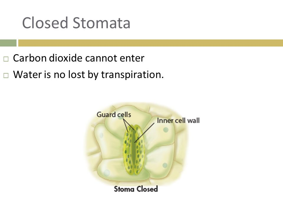 Closed Stomata Carbon dioxide cannot enter