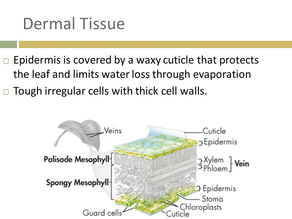 Dermal Tissue Epidermis is covered by a waxy cuticle that protects the leaf and limits water loss through evaporation.