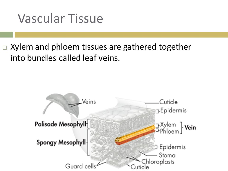 Vascular Tissue Xylem and phloem tissues are gathered together into bundles called leaf veins.