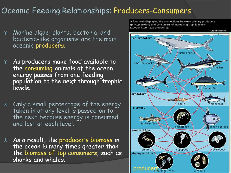Oceanic Feeding Relationships: Producers-Consumers
