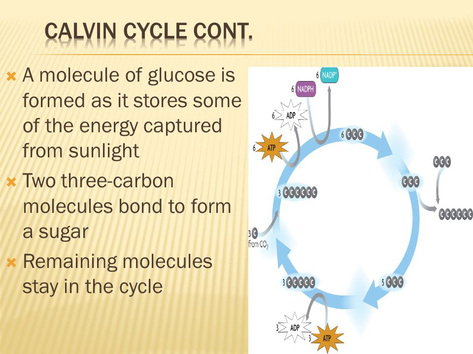 Calvin Cycle Cont. A molecule of glucose is formed as it stores some of the energy captured from sunlight.