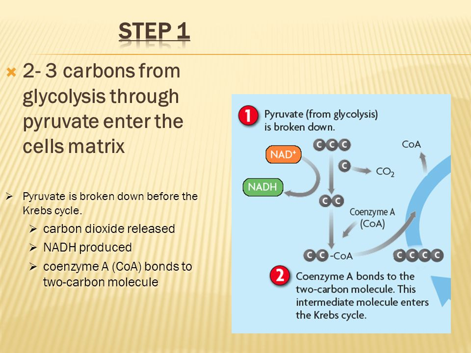 Step 1 2- 3 carbons from glycolysis through pyruvate enter the cells matrix. Pyruvate is broken down before the Krebs cycle.