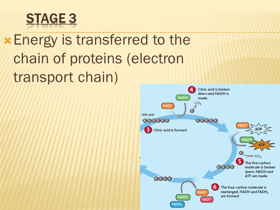Stage 3 Energy is transferred to the chain of proteins (electron transport chain)