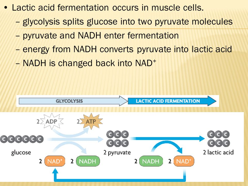 Lactic acid fermentation occurs in muscle cells.