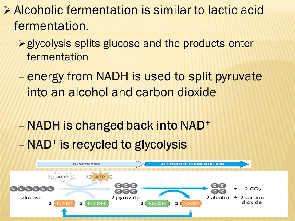 Alcoholic fermentation is similar to lactic acid fermentation.