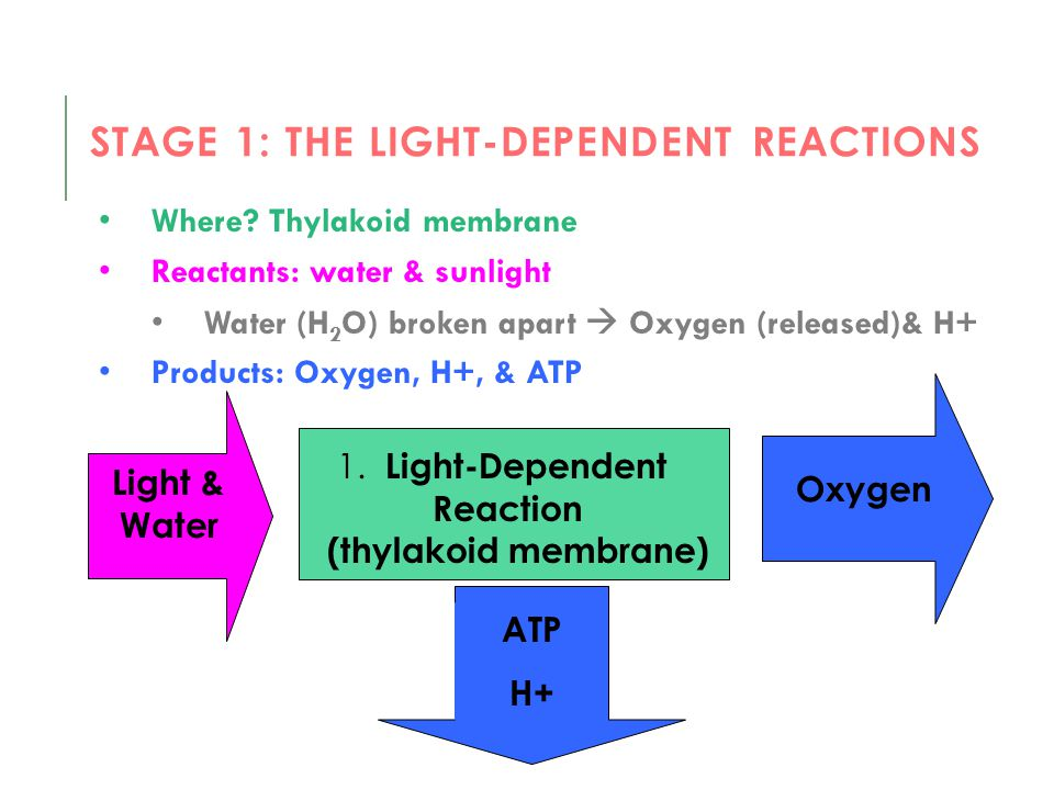 Stage 1: The light-dependent reactions