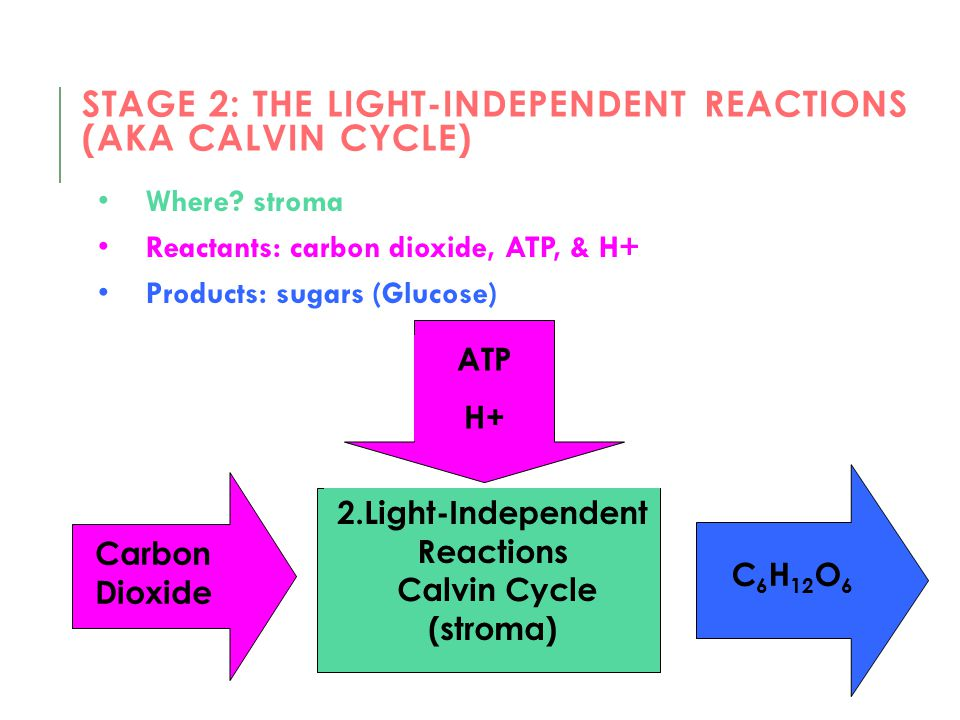 Stage 2: The light-independent reactions (AKA Calvin cycle)