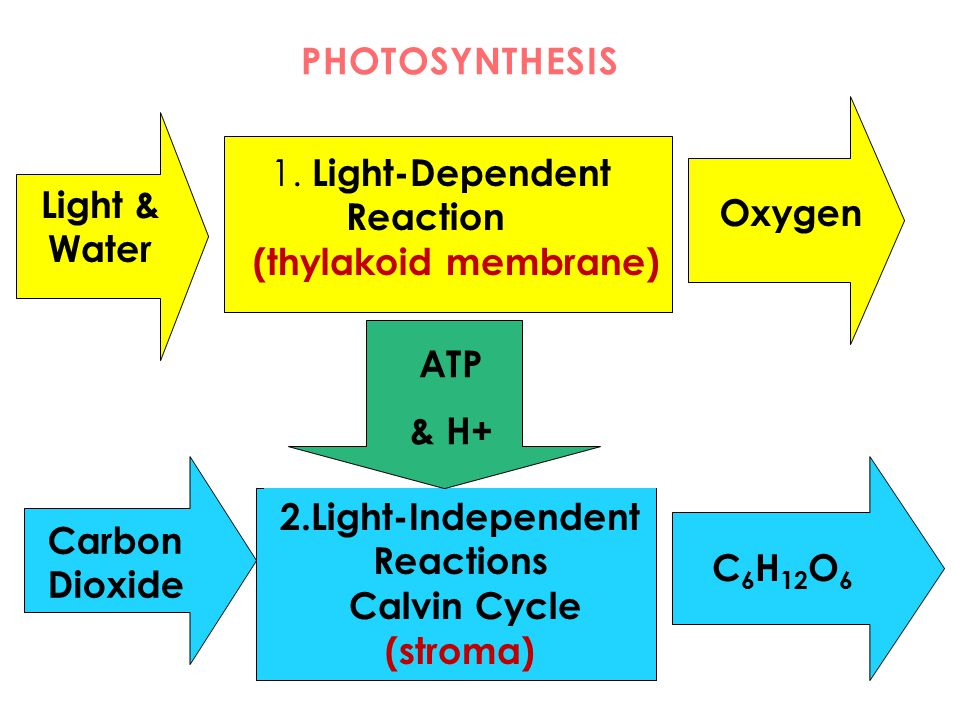 2.Light-Independent Reactions