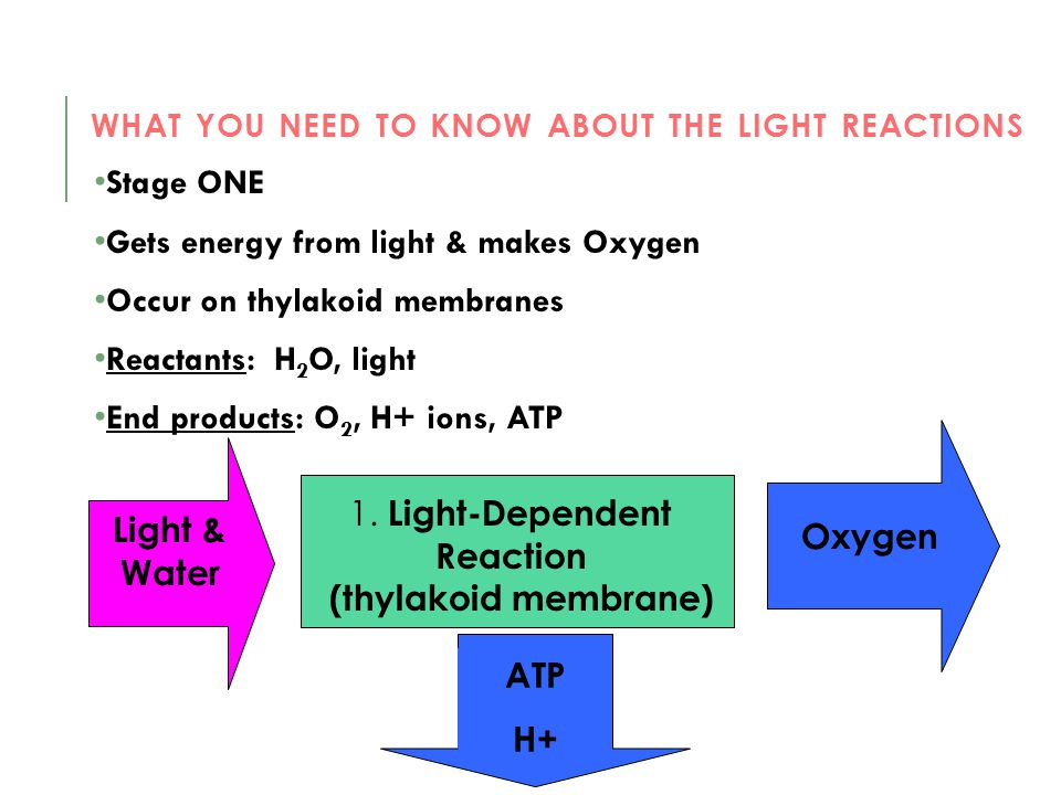 What you need to know about the light reactions