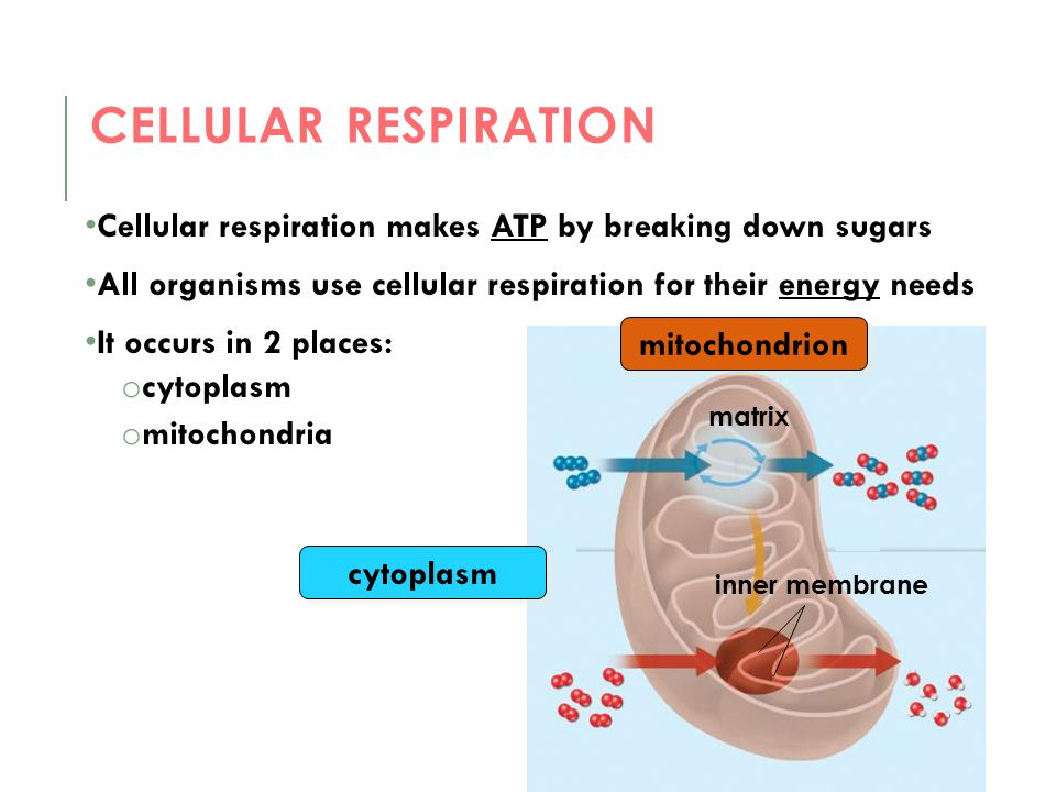 Cellular respiration Cellular respiration makes ATP by breaking down sugars. All organisms use cellular respiration for their energy needs.