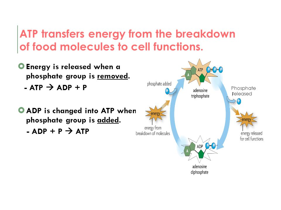 ATP transfers energy from the breakdown of food molecules to cell functions.
