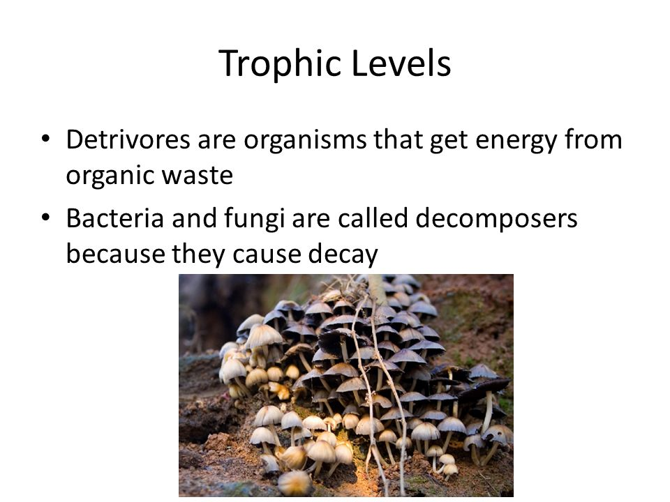 Trophic Levels Detrivores are organisms that get energy from organic waste.