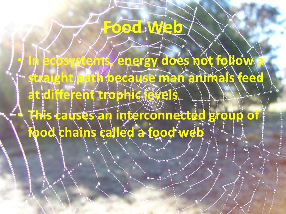 Food Web In ecosystems, energy does not follow a straight path because man animals feed at different trophic levels.