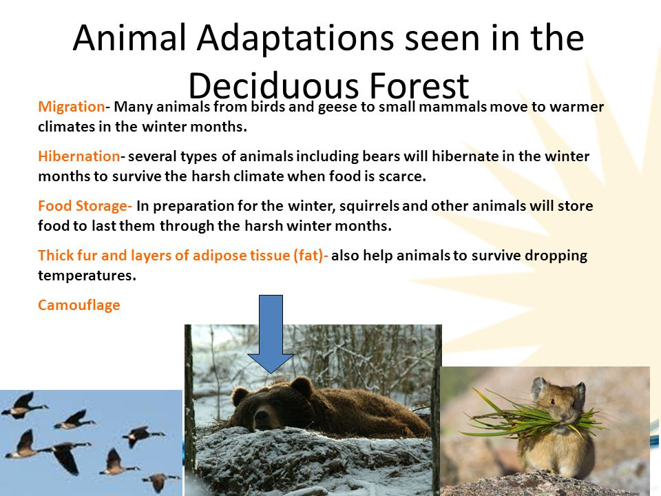 Animal Adaptations seen in the Deciduous Forest