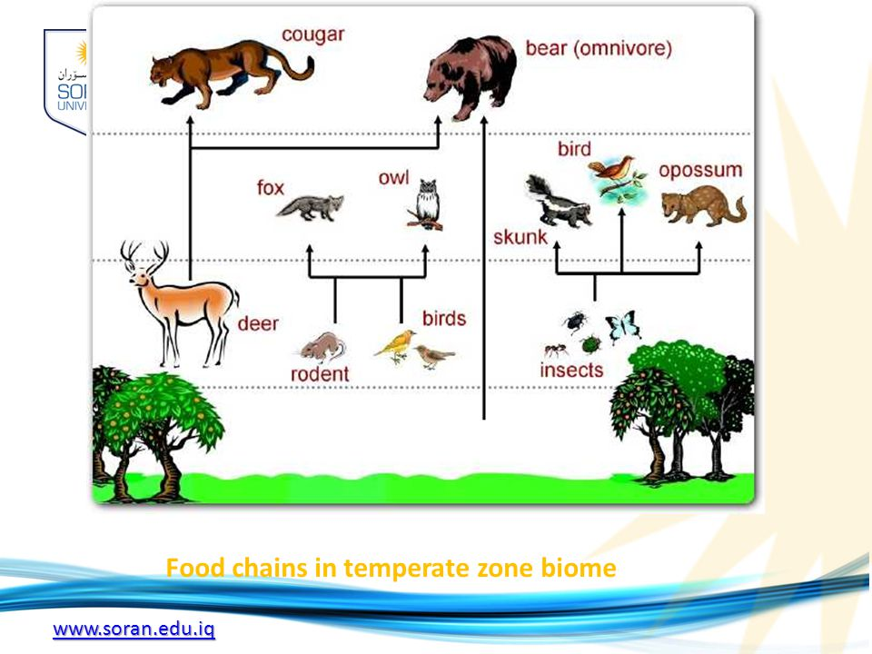 Food chains in temperate zone biome