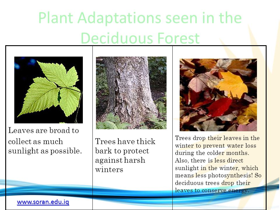 Plant Adaptations seen in the Deciduous Forest
