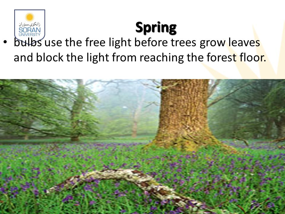 Spring bulbs use the free light before trees grow leaves and block the light from reaching the forest floor.