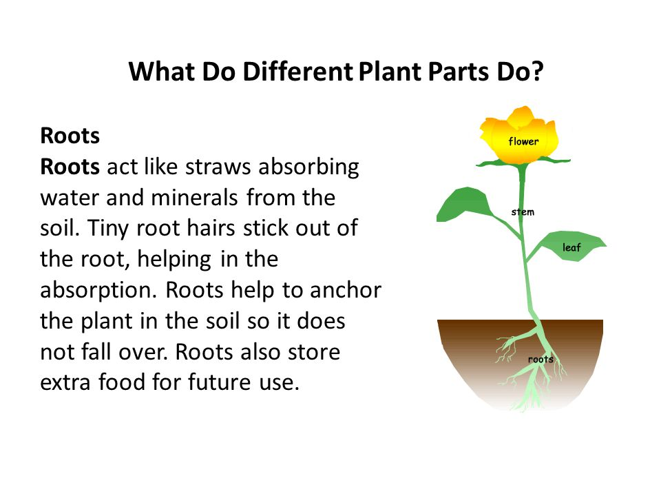 What Do Different Plant Parts Do