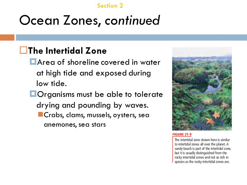 Ocean Zones, continued The Intertidal Zone Chapter 21