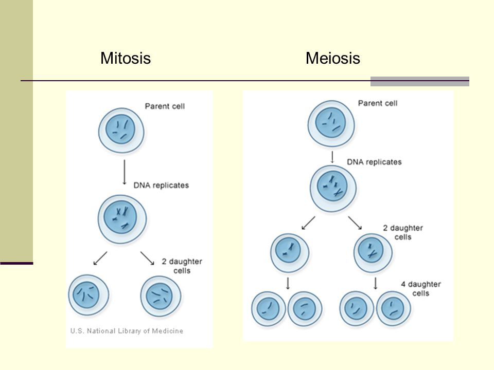 mitosis meiosis brochure Start studying bio 9 learn vocabulary, terms, and more with flashcards, games, and other study tools despite the similarities between mitosis and meiosis.