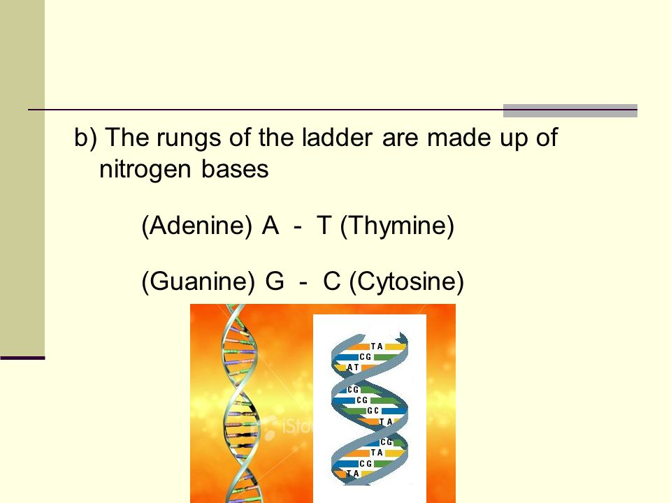 b) The rungs of the ladder are made up of nitrogen bases