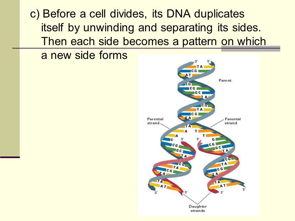 c) Before a cell divides, its DNA duplicates itself by unwinding and separating its sides.