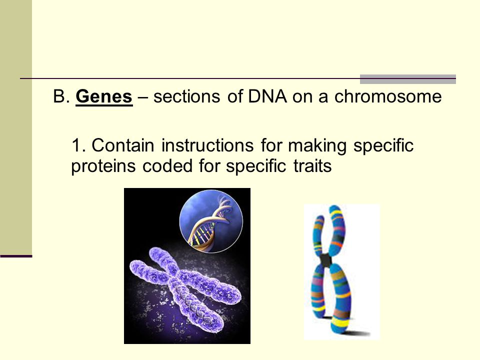 B. Genes – sections of DNA on a chromosome