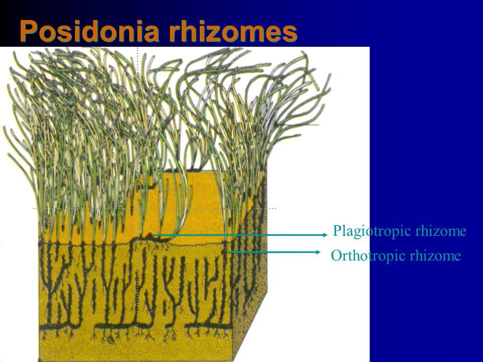 4/14/2017 Posidonia rhizomes Plagiotropic rhizome Orthotropic rhizome