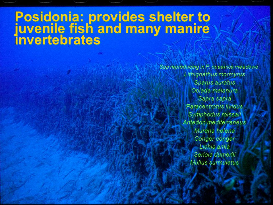 4/14/2017 Posidonia: provides shelter to juvenile fish and many manire invertebrates. Spp reproducing in P. oceanica meadows.